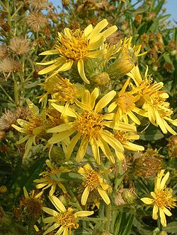 Inula viscosa flowers Foto Wikipedia